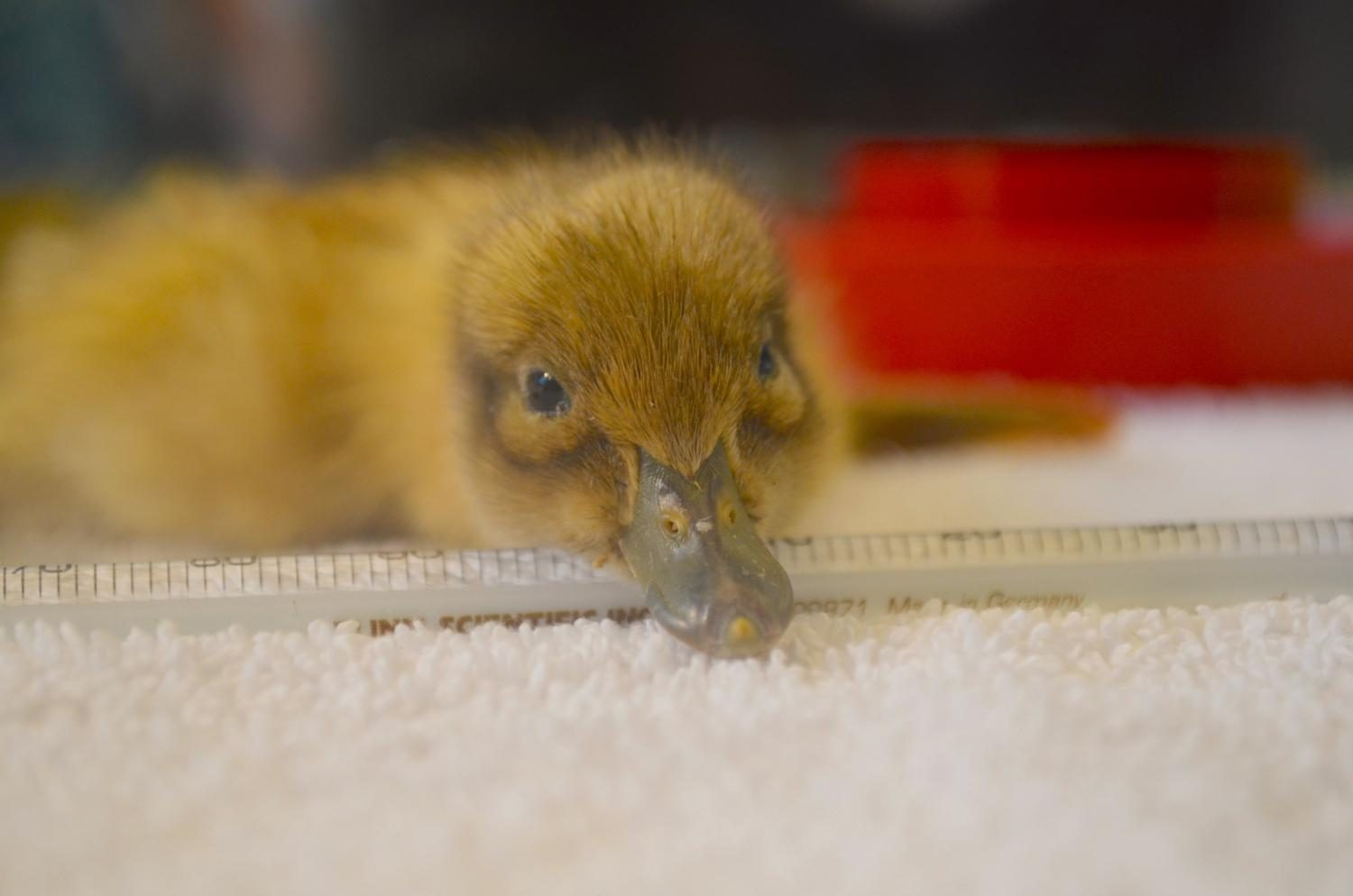 A duck from last year's hatching season.