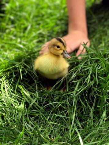 Ducks hatch on the Hilltop to celebrate the start of spring
